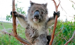 koala-in-a-gum-tree